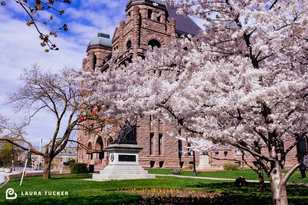 Cherry Blossoms in front of Queens Park Ontario Legislature