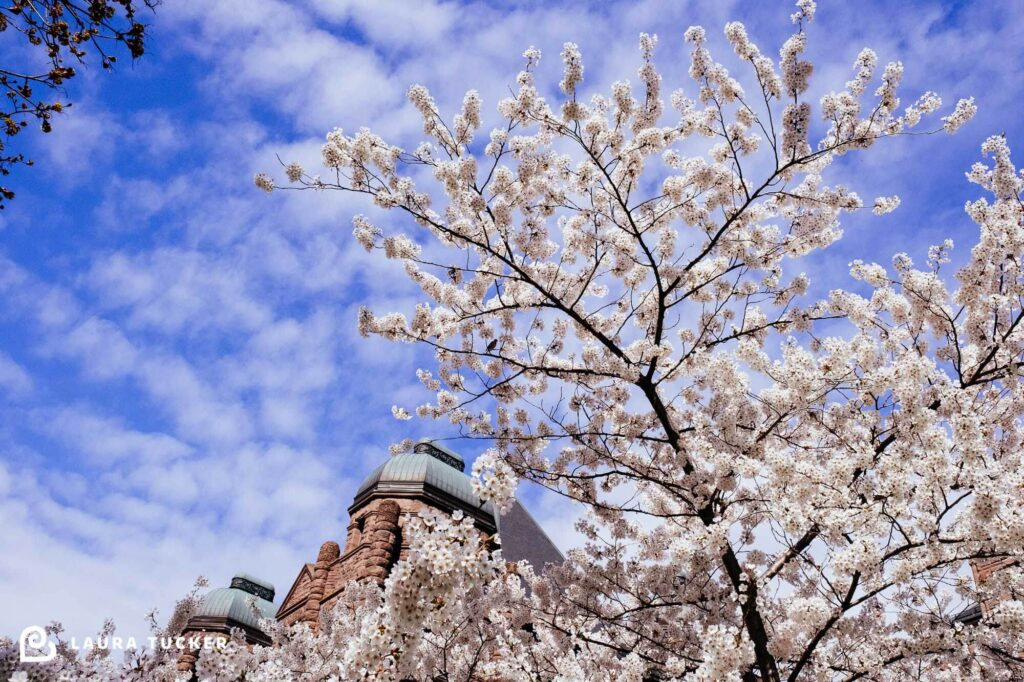 Cherry Blossoms at Queens Park Toronto