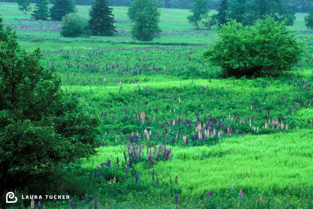 Rolling green hill dotted with purple and pink lupins and trees in New Brunswick, Canada