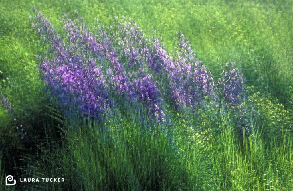 Multiple exposure image of purple lupins swaying in the breeze