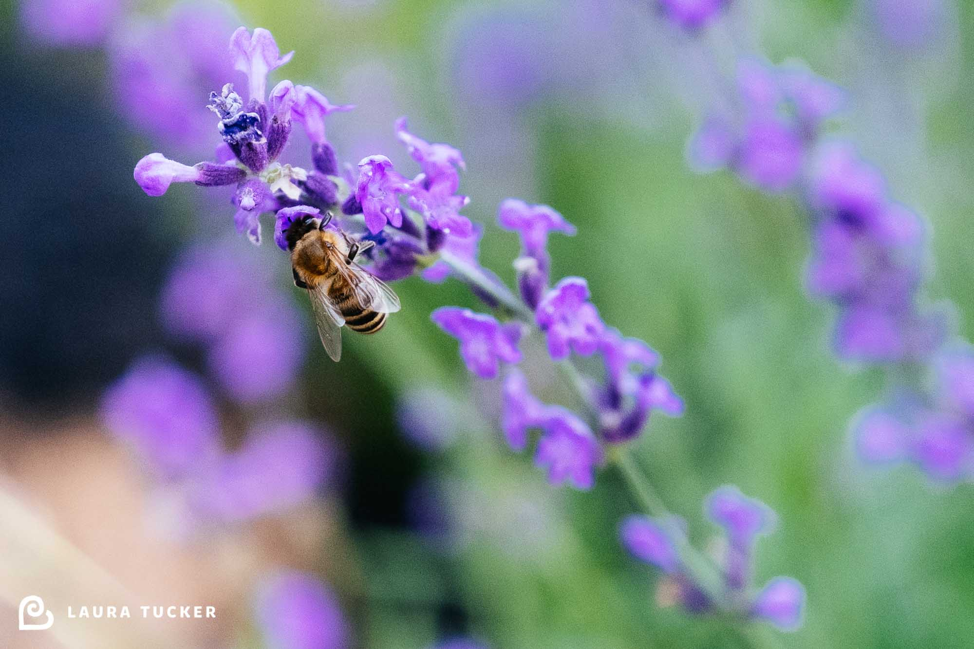 Photo of a honey bee polinating lavender